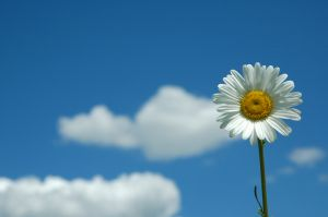 649738_daisy_in_the_sky.jpg
